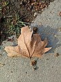 Dry leaf of indian national tree.jpg