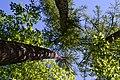 Dubechne Starovyzhivskyi Volynska-Modryna nature monument botanical-look up on the trees-2.jpg