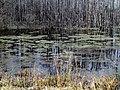 Duckweed Pee Dee NWR NC 5550 (15898517463).jpg