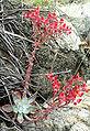 Dudleya cymosa 1.jpg