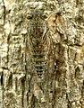 Dundubia feae (6853347188).jpg