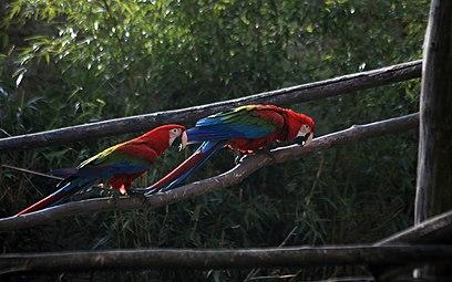 Dunkelroter Ara (Ara chloroptera) Zoo Salzburg 2014 a.jpg