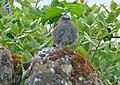 Dunnock (Prunella modularis) - geograph.org.uk - 1483010.jpg