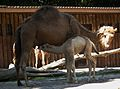 Durstiges Dromedarfohlen Zoo Landau Juni 2011.JPG