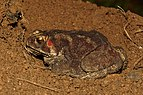 Duttaphrynus melanostictus-Kadavoor-2016-08-08-001.jpg