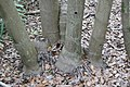 Dypsis madagascariensis 0zz.jpg