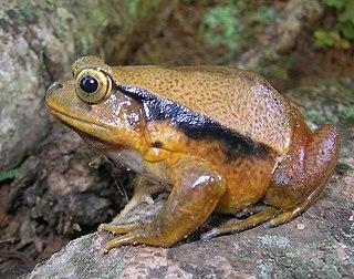 <i>Dyscophus guineti</i> Species of amphibian