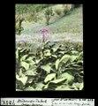 ETH-BIB-Blühender Tabak, Chiasso Balerna-Dia 247-07851.tif