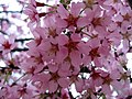 Early Pink Cherry Blossoms (5566828408).jpg