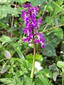 Early Purple Orchid (Orchis mascula) - geograph.org.uk - 1284681.jpg
