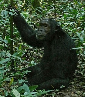 Chimpanzee species of mammal