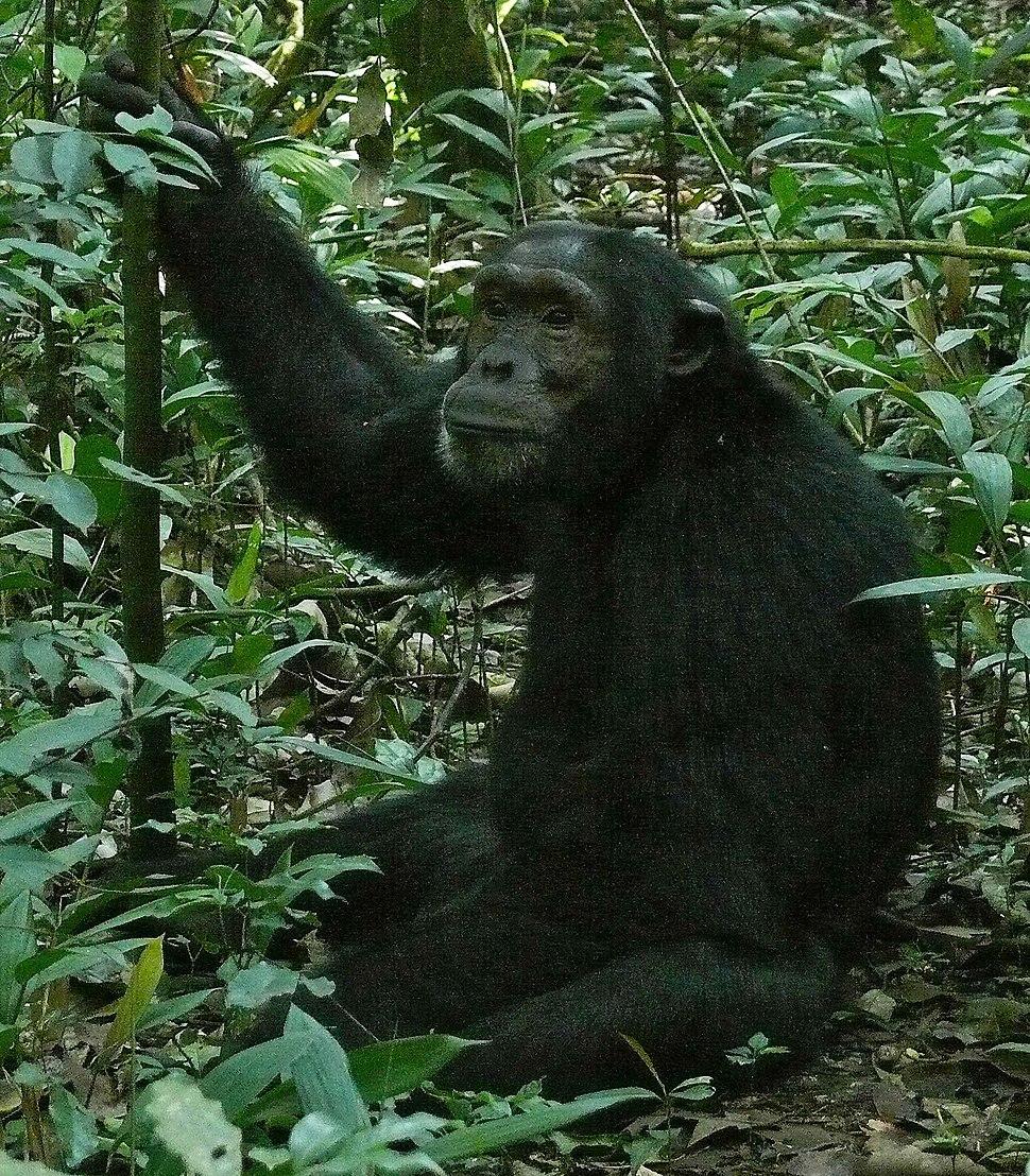 Chimpanzee - Howling Pixel