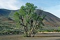 Eastern Oregon Shoe Tree - May 2004.jpg