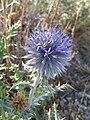 Echinops ritro - Oursin bleu, Azurite.jpg