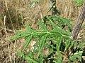 Echinops sphaerocephalus sl11.jpg