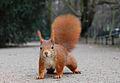 Eichhörnchen Düsseldorf Hofgarten Crisco edit.jpg