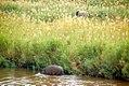 Elephant and Hippo (5970346721).jpg