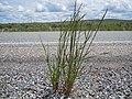 Elymus trachycaulus1.jpg
