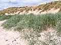 Embryo Dunes, Beadnell dunes - geograph.org.uk - 69663.jpg