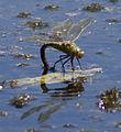 Emperor Dragonfly (4721060429).jpg