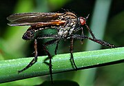 Dance fly male Empis tesselata