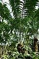 Encephalartos laurentianus-Jardin botanique Meise (9).jpg