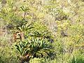 Encephalartos longifolius06.jpg