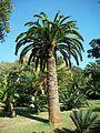 Encephalartos woodii original stem Durban Botanic Gardens 04 09 2010.JPG