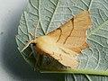 Ennomos erosaria - September thorn - Угловатая пяденица берёзовая (26052197737).jpg