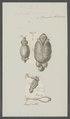 Entomodon salmonea - - Print - Iconographia Zoologica - Special Collections University of Amsterdam - UBAINV0274 100 03 0030.tif