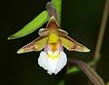 Epipactis palustris - flower 01.jpg