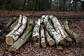 Epping Forest High Beach Essex England - Birch logs.jpg