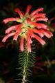 Erica abietina subsp. abietina 1DS-II 1-8820.png