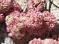 Eriogonum lobbii prostrate buckwheat bright-pink flowers close.jpg