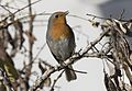 Erithacus rubecula - European robin, Adana 2016-12-10 03-1.jpg