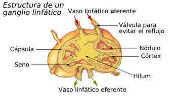 que es el sistema inmunologico humano