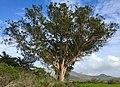 Eucalyptus - Flickr - docentjoyce.jpg