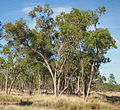 Eucalyptus brownii.jpg