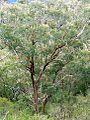 Eucalyptus campanulata Mt Cabrebald.jpg