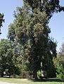 Eucalyptus gomphocephala 1.jpg