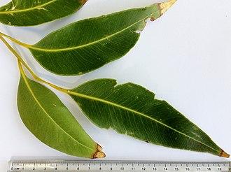 Eucalyptus robusta - Image: Eucalyptus robusta adult leaves 02