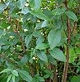 Euonymus verrucosus20090702 016.jpg