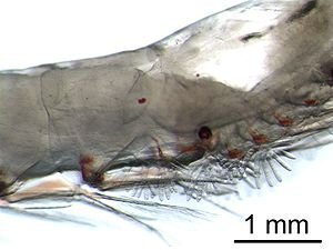 Krill - The gills of krill are externally visible.