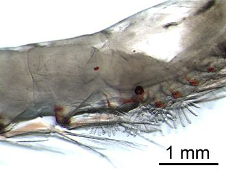 Krill - The gills of krill are externally visible