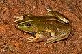 Euphlyctis karaavali adult male.jpg