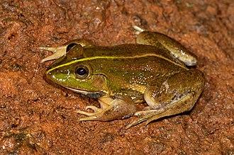 Euphlyctis karaavali - Holotype male