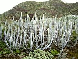 Euphorbia canariensis (La Fajana) 11