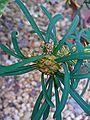 Euphorbia didiereoides 003.JPG