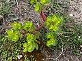 Euphorbia helioscopia 126392064.jpg