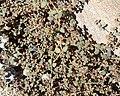 Euphorbia micromera 4.jpg